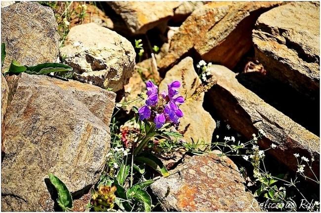 Fleurs-Rocaille1