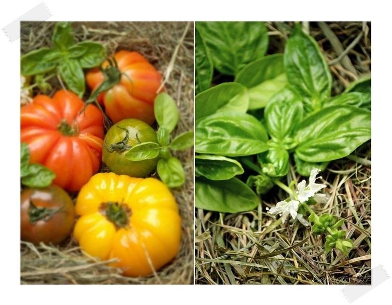 Tomates-Basilic11