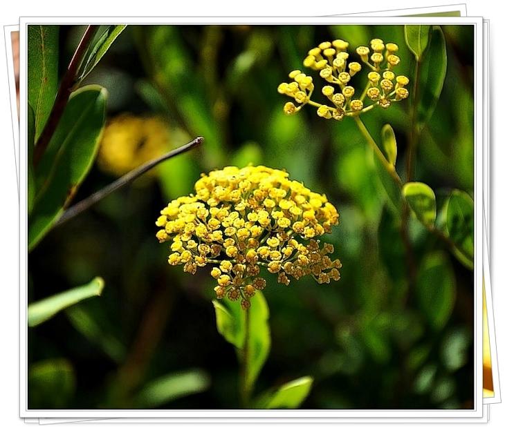 Fleur-de-Buplèvre2